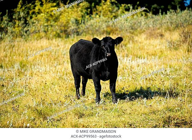 Cattle, Black angus Fort Walsh Saskatchewan Canada