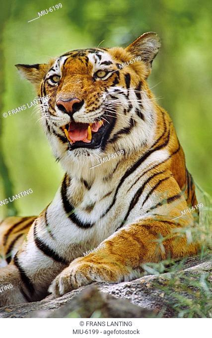 Bengal tiger resting, Panthera tigris tigris, Western Ghats, India
