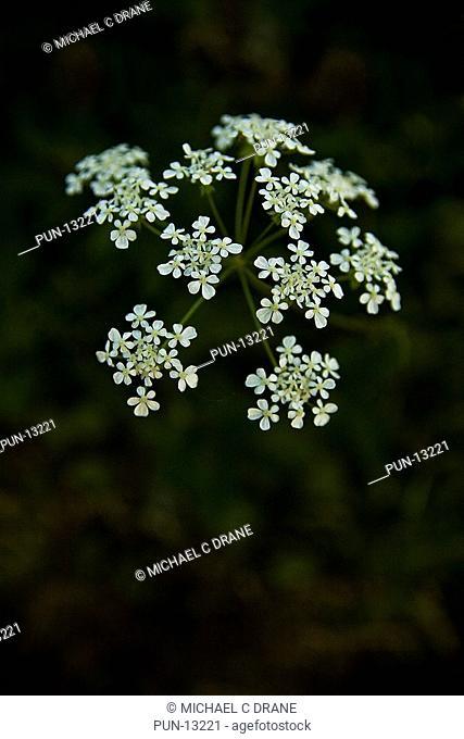 Cow parsley Anthriscus sylvestris flower head