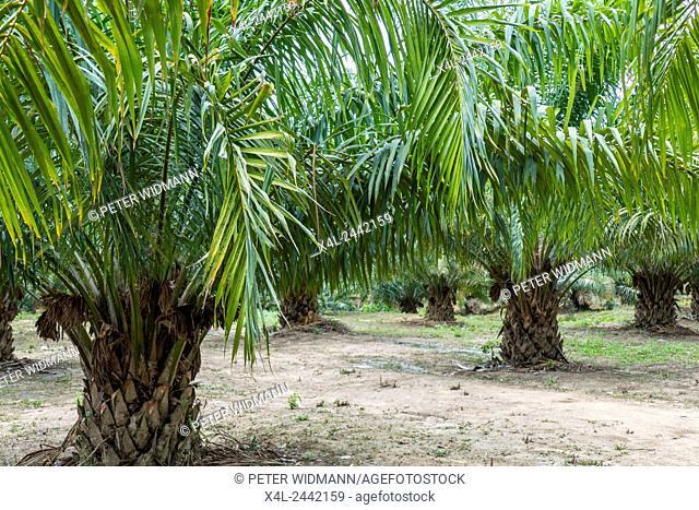 Oil palm (Elaeis guineensis), Krabi, Thailand, Asia