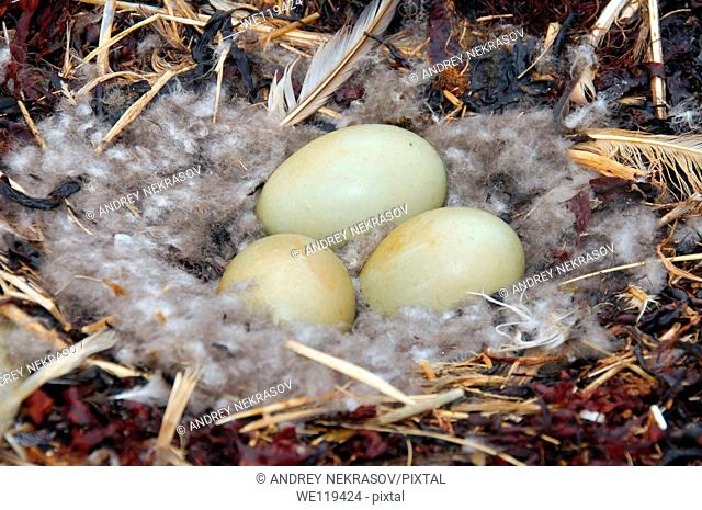 Nest with eggs of the Common Eider Somateria mollissima, Kola Peninsula, Barents Sea, RussiaNest with eggs of the Common Eider Somateria mollissima