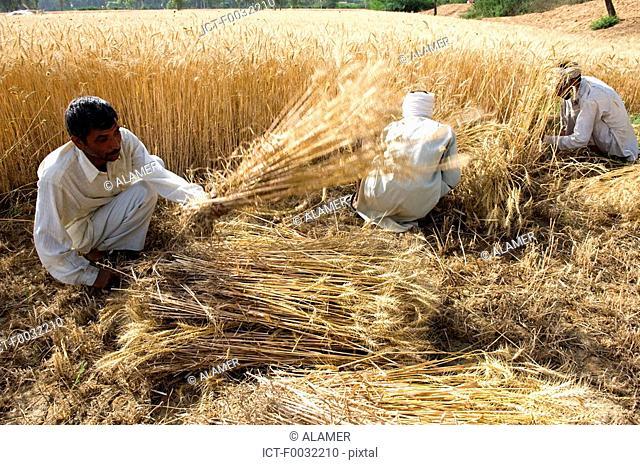 India, Haryana, harvest of rice