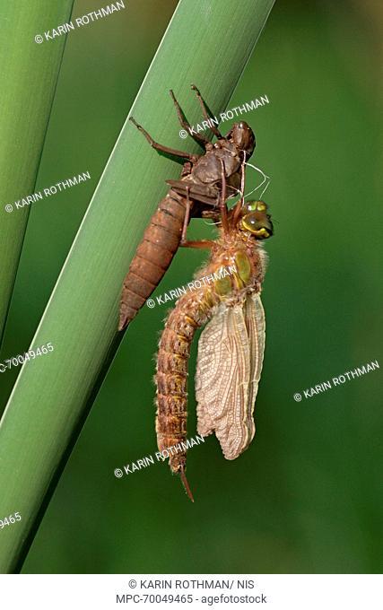 Hairy Dragonfly (Brachytron pratense) metamorphosing, Overijssel, Netherlands. Sequence 11 of 13