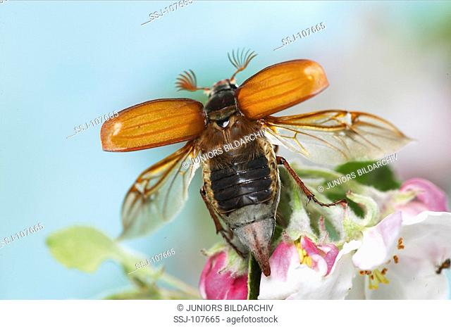 animal,insect,common-cockchafer