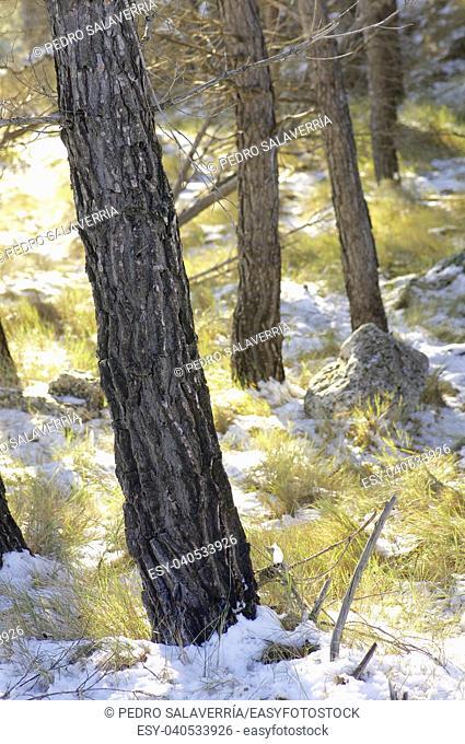 Pine Forest in Borja, Zaragoza Province, Aragon, Spain