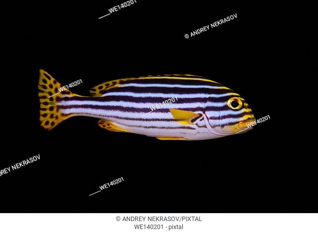 Yellowbanded sweetlips, Blackstriped sweetlips, Diagonal banded sweetlips, diagonal-banded sweetlips, Fourbanded sweetlip or Goldman's sweetlips (Plectorhinchus...