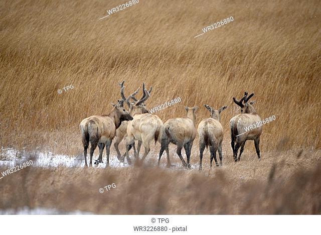 moose;Yancheng; Jiangsu;China