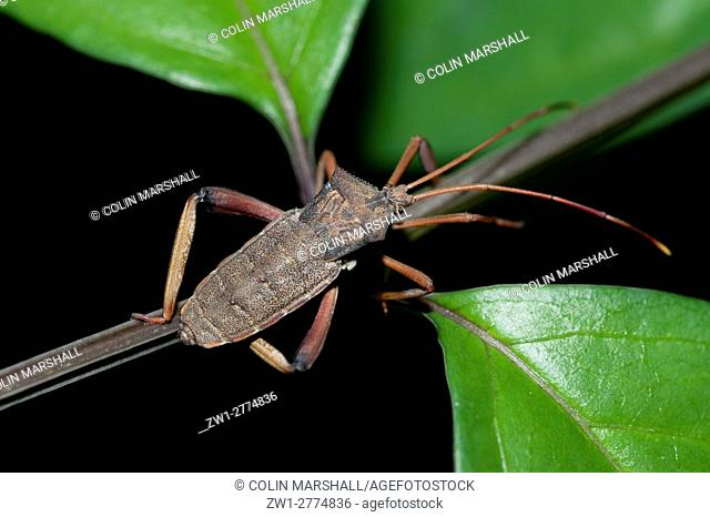 Leaf-footed Bug (Coreidae family), on branch, Klungkung, Bali, Indonesia