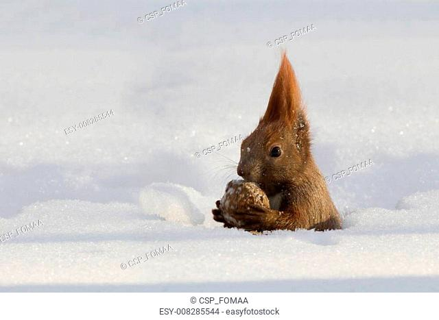 Red squirrel in the winter
