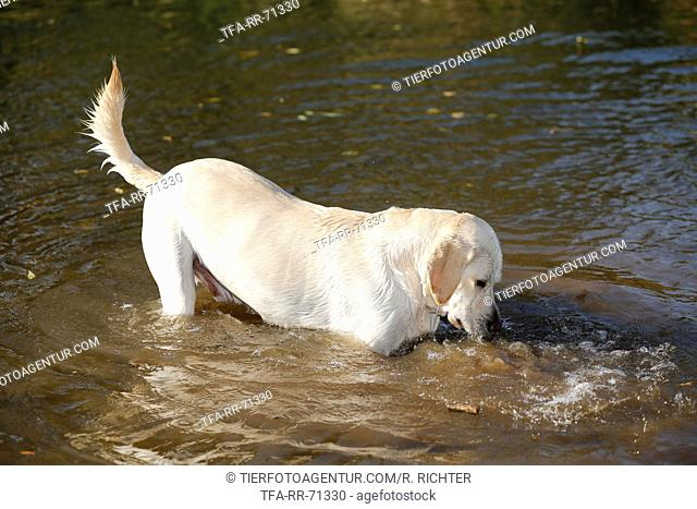 Labrador Retriever in the water