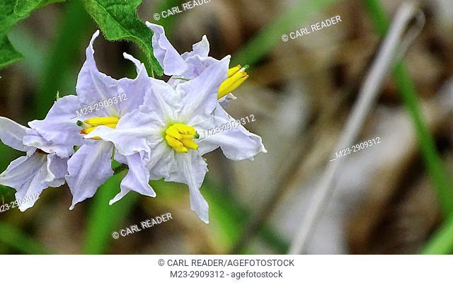 Common nightshade, solanum americanum, Pennsylvania, USA