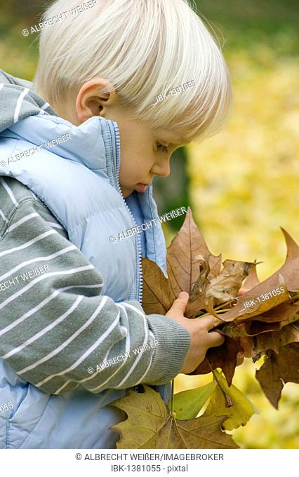 A little boy collecting autumn leaves, Germany, Europe
