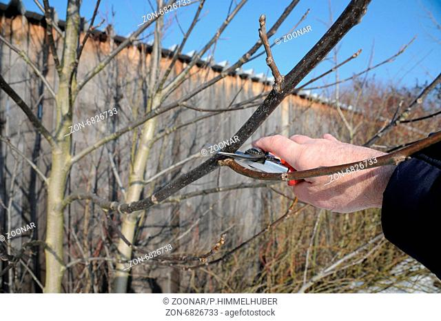 Walnut, pruning