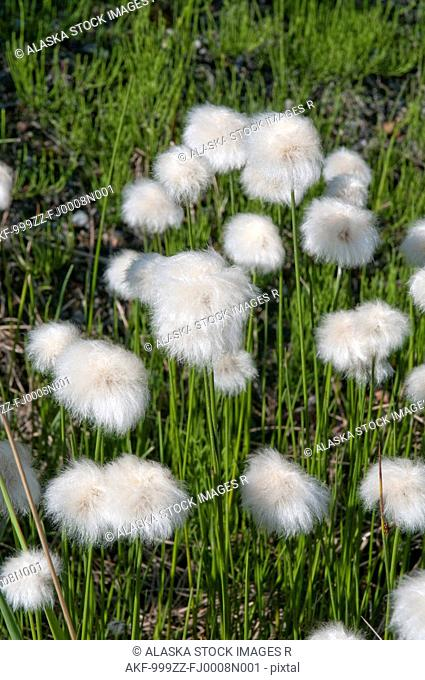 Close up of Cottongrass in Denali National Park, Interior Alaska, Summer
