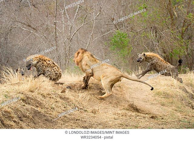 A male lion, Panthera leo, runs up a slope after a spotted hyena, Crocuta crocuta, who turns back and snarls at the lion, a second hyena runs after the lion