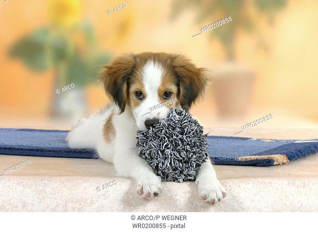 Small, Dutch, Waterfowl, Dog, puppy, 3, month, with, toy,Kooikerhondje