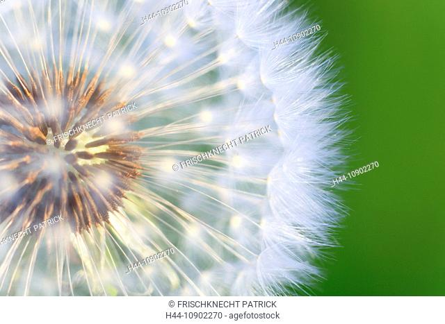 Flower, detail, flora, reproduction, ease, dandelion, dandelion, macro, pattern, sample, close-up, plant, puff, blowball, blowing, seed, Switzerland