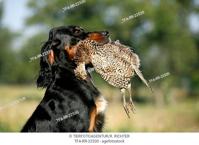 Gordon Setter retrieves partridge