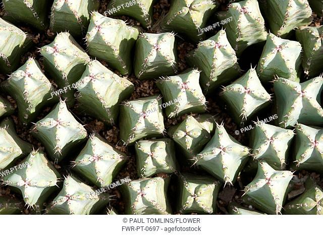 Mammillaria spinosissima, Cactus, Pincushion cactus, Green subject