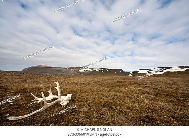 Svalbard reindeer antlers Rangifer tarandus platyrhynchus on the gentle plains of Talaveraflya on the south shore of Borentsoya in the Svalbard Archipelago