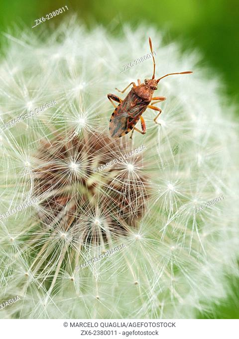 Bug and Dandelion seeds (Taraxacum officinale). Montseny Natural Park. Barcelona province, Catalonia, Spain
