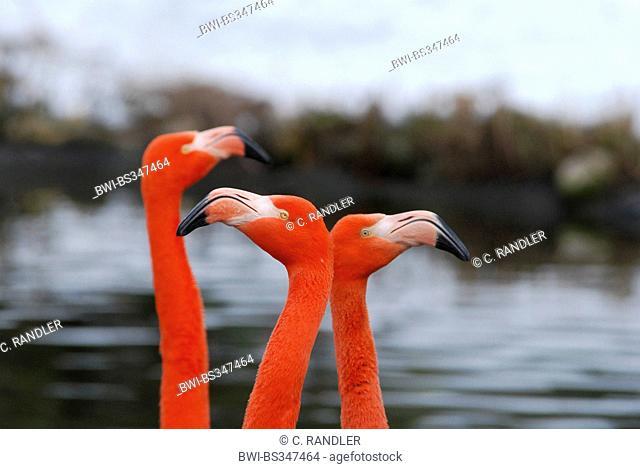 Greater flamingo, American flamingo, Caribbean Flamingo (Phoenicopterus ruber ruber), talking birds