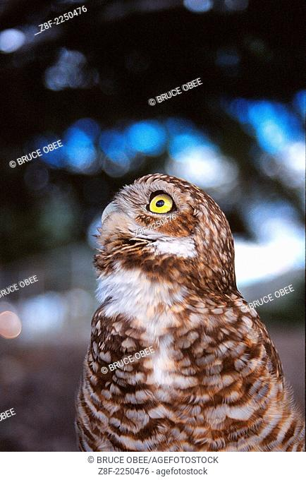 An endangered burrowing owl surveys its surroundings in the Okanagan region of British Columbia, Canada