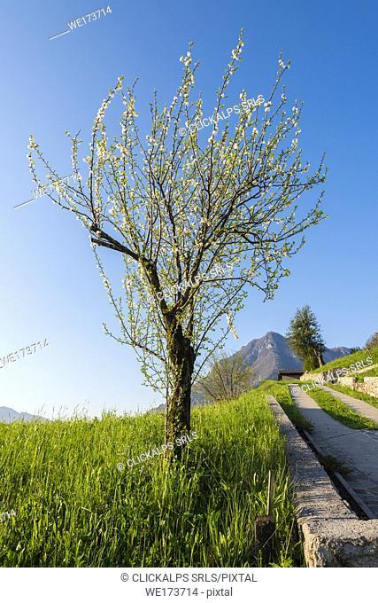 Apple tree, Val Brembana, Province of Bergamo, Orobie alps, Italian alps, Italy