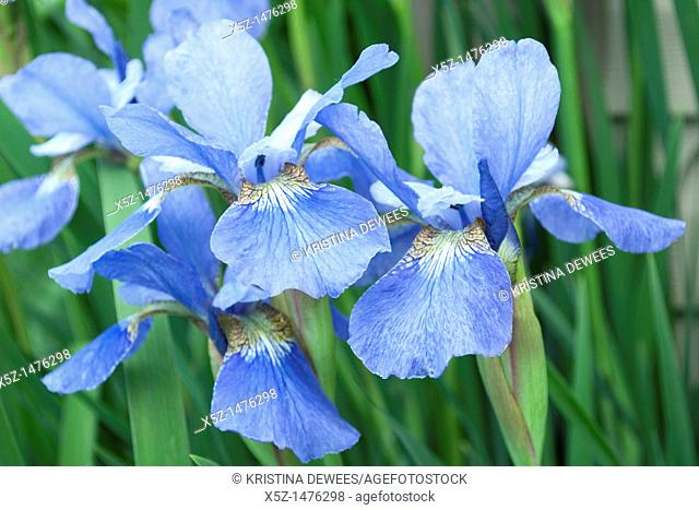 A blue Japanese Iris in bloom