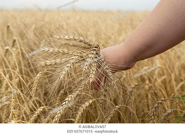 Ripe wheat ears on a human hand, on the background of a wheat field