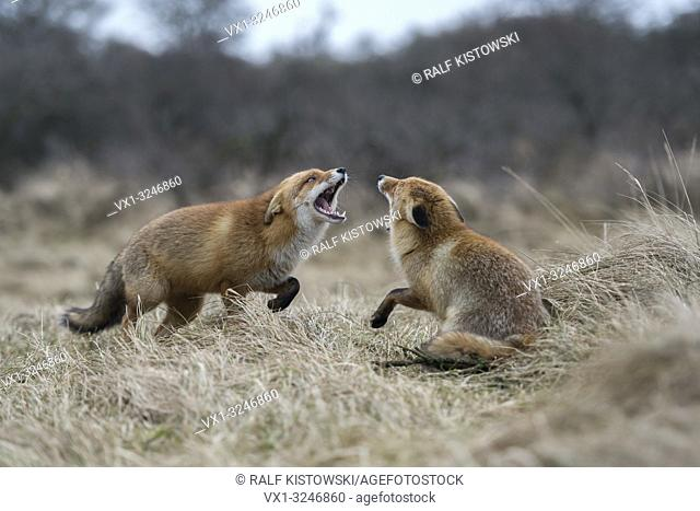 Red Foxes / Rotfuechse ( Vulpes vulpes ), two adults, in fight, fighting, threatening with wide open jaws, attacking each other, wildlife, Europe