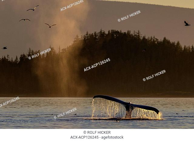 Feeding time. Humpback whales with seagulls during a peaceful sunset in Blackfish Sound, First Nations Territory, off Vancouver Island, British Columbia, Canada