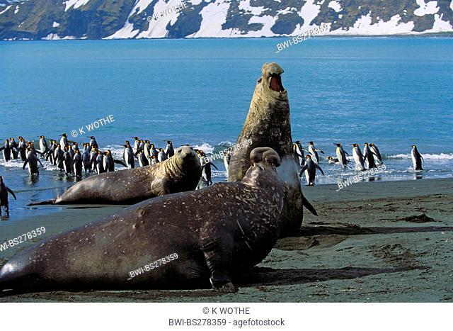 southern elephant seal Mirounga leonina, bulls and king penguins at the coast, Antarctica, Suedgeorgien