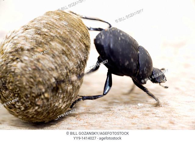 Dung Beetle - Los Novios Ranch - near Cotulla, Texas USA