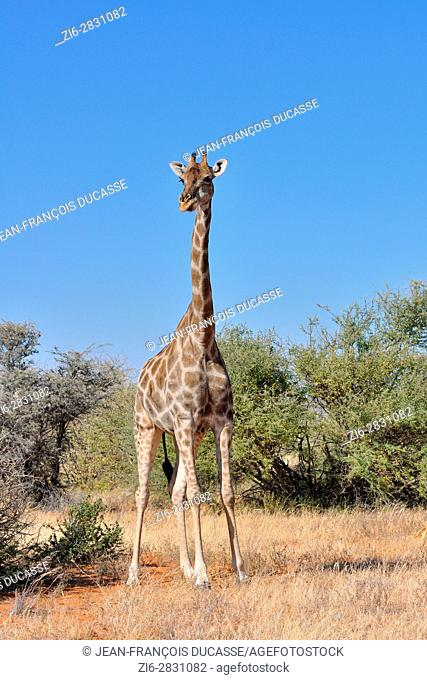 Namibian giraffe (Giraffa giraffa angolensis), adult female facing camera, Etosha National Park, Namibia, Africa