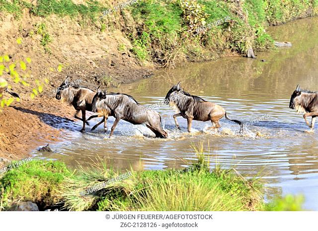 Excited Wildebeests, Connochaetes Taurinus, crossing a river for migration, Masai Mara, Kenya