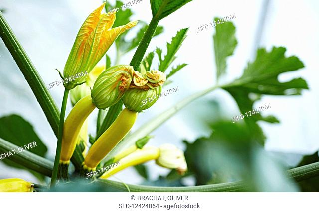 Courgette plant with flowers