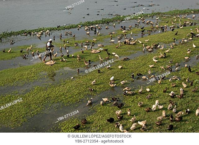 A duck herder with his flock at the Taungthaman Lake, Amarapura, Myanmar