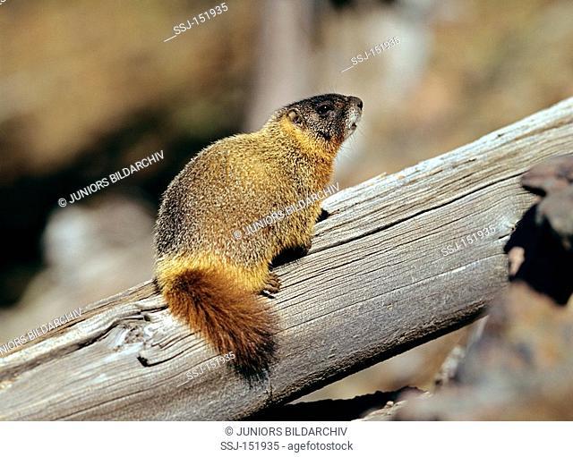 Yellow-bellied Marmot on wooden beam / Marmota flaviventris