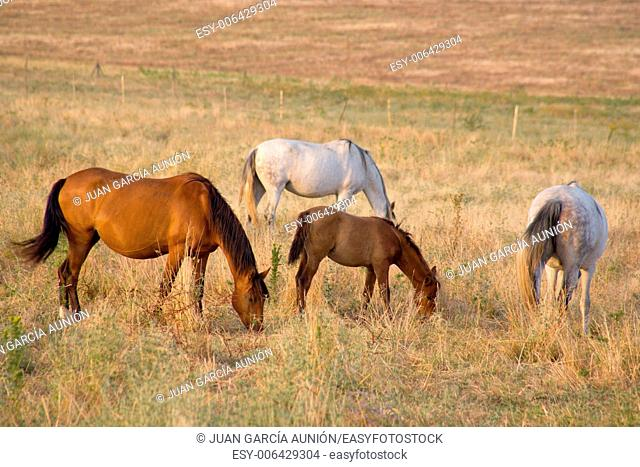 Herd Of Horses grazing in green fields of Olivenza countryside, Badajoz, Extremadura, Spain