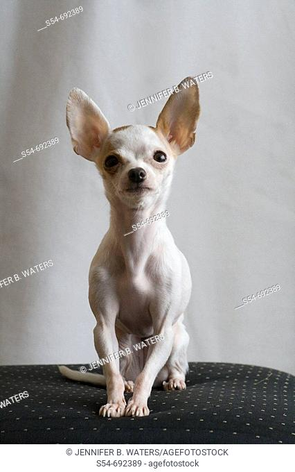 A white adult female Chihuahua sitting on a chair