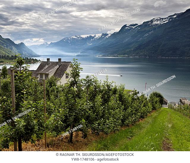 Apple Orchard, Lofthus, Ullensvang, Norway