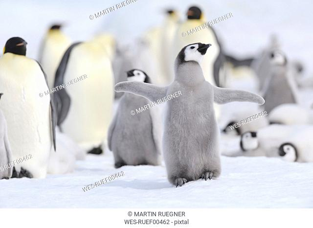 Antarctica, View of emperor penguin in group