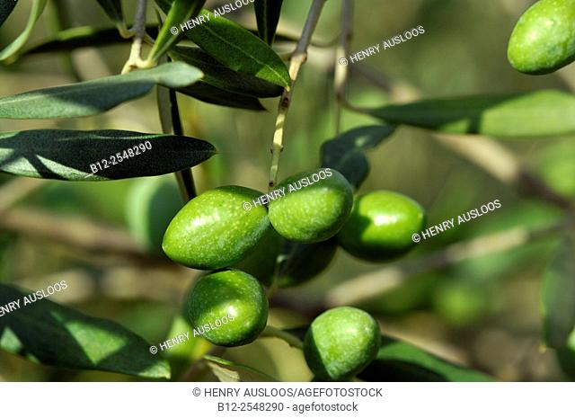 Olive tree (Olea europaea), Branch with fruits, Southern France