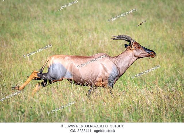 A Topi (Damaliscus lunatus jimela) subspecies of the common tsessebe in the field in Maasai Mara National Reserve, Kenya