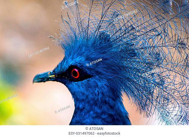 Close up of a Victoria Crowned Pigeon (Goura victoria) bird