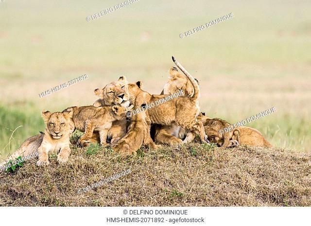 Kenya, Masai Mara Reserve, Family Lions (Panthera leo) cubs playing with their mother