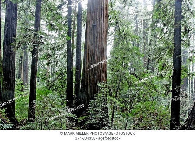 California Redwood Forest, USA