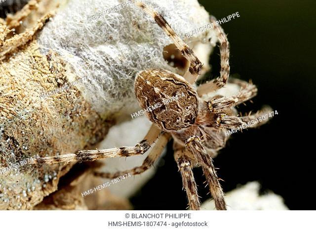 France, Ain, Araneae, Araneidae, Bridge spider or Gray cross spider (Larinioides sclopetarius)
