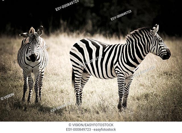 zebras couple in the masai mara reverse in kenya africa
